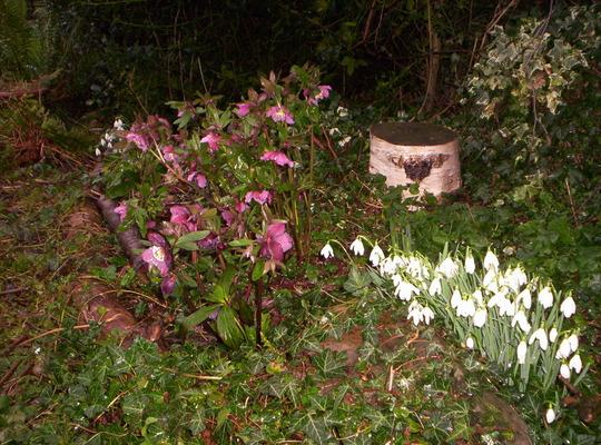 Helleborus orientalis & Galanthus nivalis