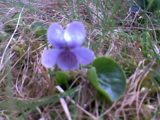 Viola palustris (Marsh Violet)