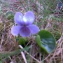 Viola_palustris_2