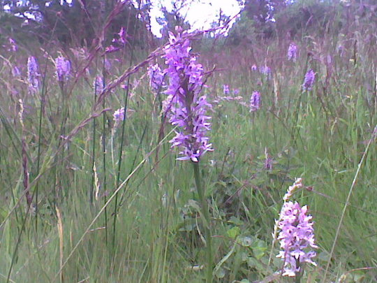 Dactylorhiza fuchsii (Spotted Orchid)