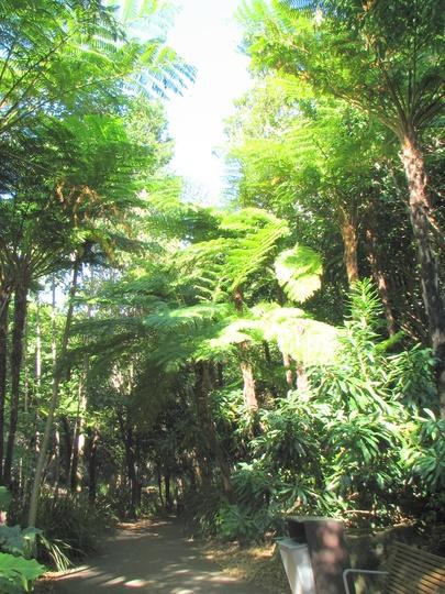 Cyathea cooperi - Lacy Tree Fern again (for Dottydaisy) (Cyathea cooperi (Lacy Tree Fern))