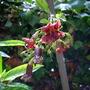 Markhamia zanzabarica - Maroon Bean Tree (Markhamia zanzabarica - Maroon Bean Tree)
