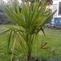 Lovely little chusan palm (Trachycarpus fortunei (Chusan palm))