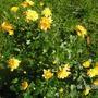 Chrysanthemum_filmstar_