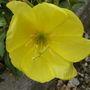 Evening_primrose