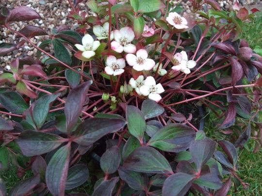 Cornus canadensis (Cornus canadensis)
