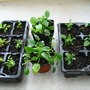 Potted up trailing pansies for Valadel