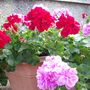more geraniums