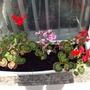 even more geraniums :-)