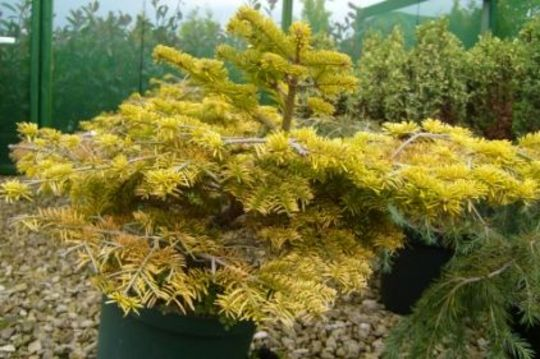 Abies 'Golden Spreader' (Abies nordmanniana 'Golden Spreader')