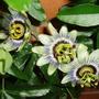 Passiflora Caerulea (Passiflora caerulea (Passion flower))
