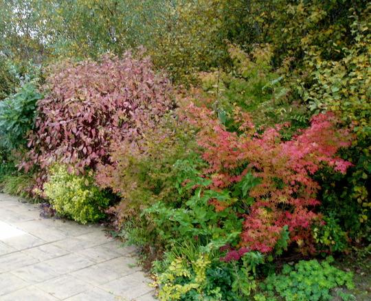 Looks Like Autumn Is Upon Us (Cornus alba Spaethii)