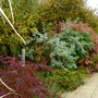 Autumn Colour (Berberis thunbergii atropurpurea)