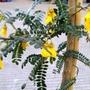 Sophora 'Sun King' (Sophora)