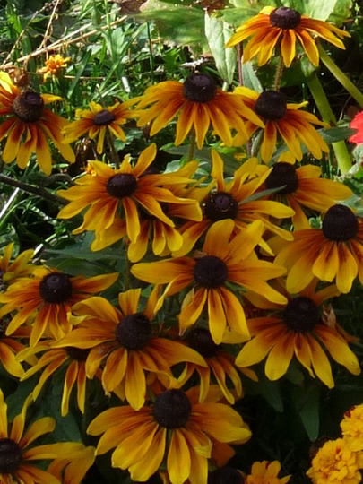 Flame shades of the Rudbeckias (Rudbeckia)