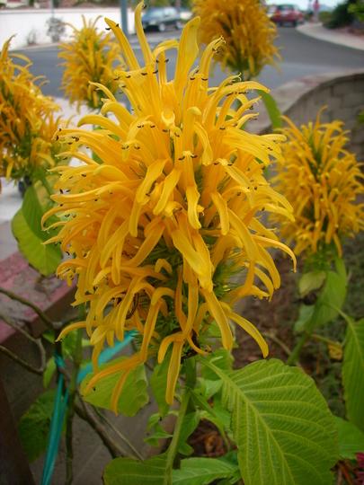 Justicia aurea - Yellow Jacobinia (Justicia aurea - Yellow Jacobinia)