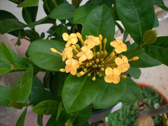 Ixora coccinea 'Singapore Yellow' - Singapre Yellow Ixora (Ixora coccinea 'Singapore Yellow' - Singapre Yellow Ixora)