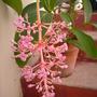 Medinilla cumingii -  Medinilla, Malaysian Orchid (Medinilla cumingii -  Medinilla)