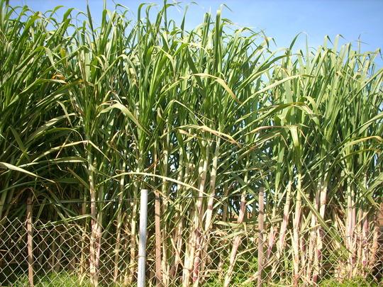 Saccharum officinarum - Sugar Cane (Saccharum officinarum - Sugar Cane)