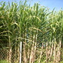 Saccharum officinarum - Sugar Cane (Saccharum officinarum - Sugar Cane)