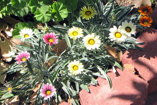 Mid-spring in northern Oz: Gazania patch in bloom (Gazania)