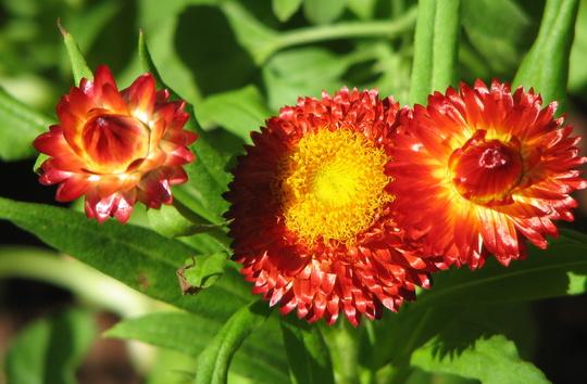 Mid-spring in northern Oz: Bracteantha bracteata - Paper Daisy - in bloom (Bracteantha bracteata, Helichrysum bracteatum)