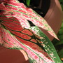 Mid-spring in northern Oz: Caldiums breaking through (Caladium)