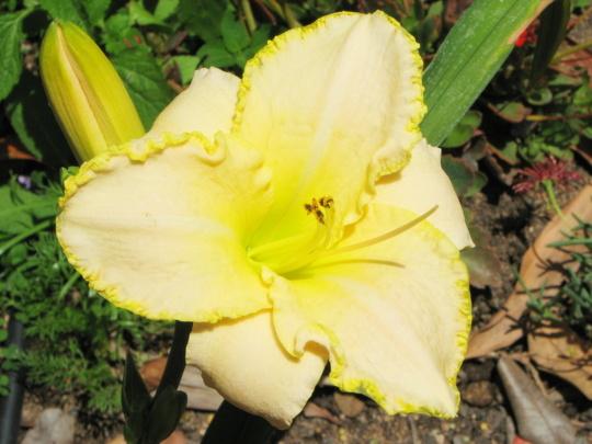 Mid-spring in northern Oz: Hemerocallis in bloom (Hemerocallis)