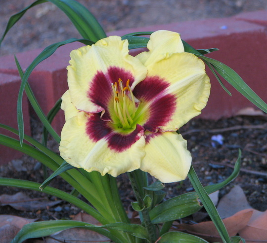 Mid-spring in northern Oz: Hemerocallis in bloom (Hemerocallis)