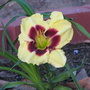 Hemerocallis_blackberry_jack_
