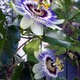 Double Flowering Passion Flower.