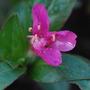 Oenethera rosea (Oenothera speciosa var. childsii 'rosea' (Pink Evening Primrose))