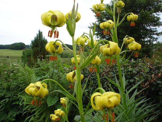 Pyranean Lilies (Lilium pyrenaicum)