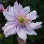 Double_anemone_x_hybrida