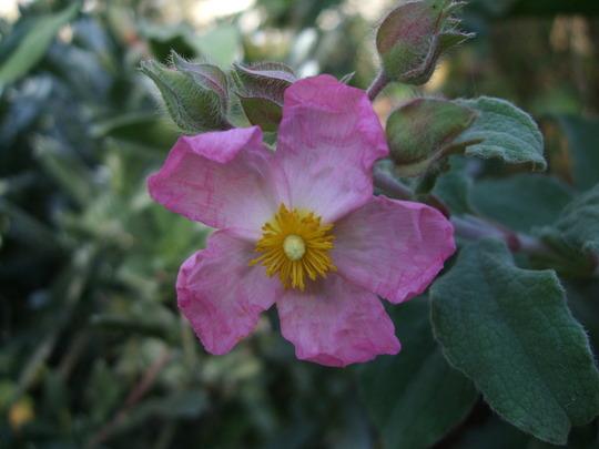 Cistus 'Silver Pink' (Cistus x purpureus)