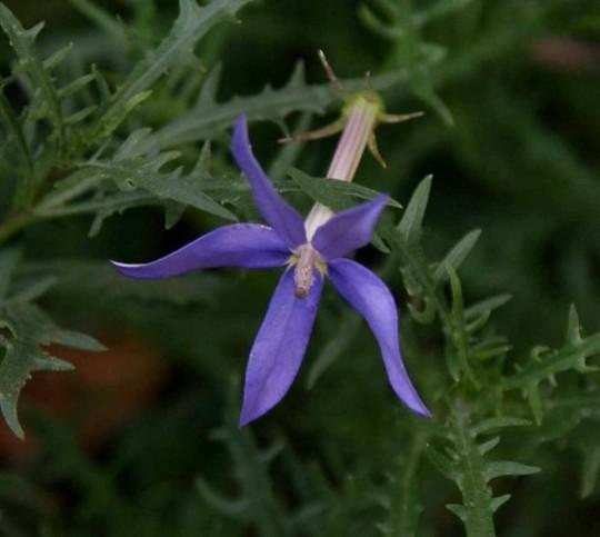Laurentia (Laurentia)