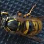 Sleeping wasp...Zzzzzz
