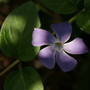 Vinca  (Vinca major (greater periwinckle))