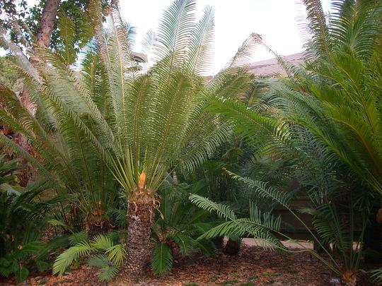 Cycas circinalis - Queen Sago (Cycas circinalis - Queen Sago)