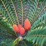 Lipidozamia peroffskyana - Queensland Cycad (Lipidozamia peroffskyana - Queensland Cycad)