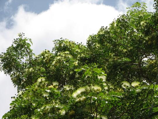 Albizia lebbeck - Siris tree (Albizia lebbeck)