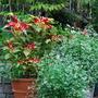 Euphorbia'Diamond Frost'&Amaranthus tricolor (Amaranthus tricolor)