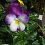 Soft purple and lila pansy (viola)