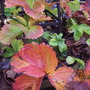 Strawberry Plants in Autumn Colours.