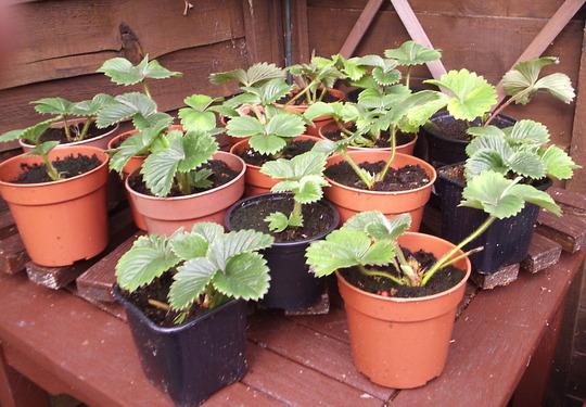 Baby Strawb Plants,Set Free!