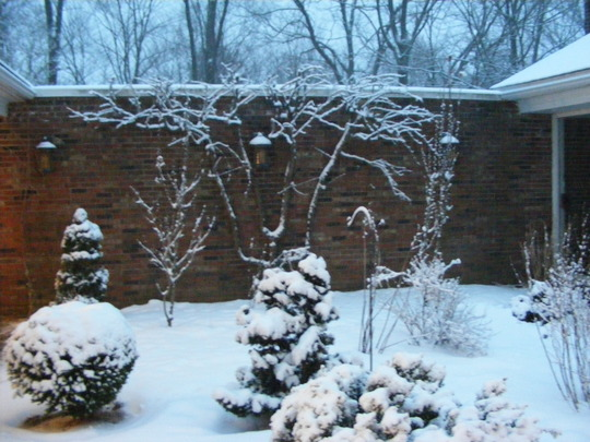 Espalier In Winter (Pyrus communis (Pear))