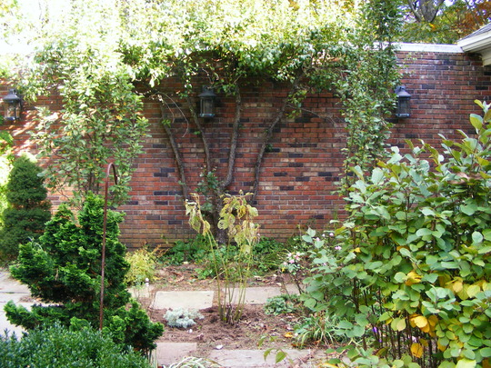 Espalier In Late Summer (Pyrus communis (Pear))