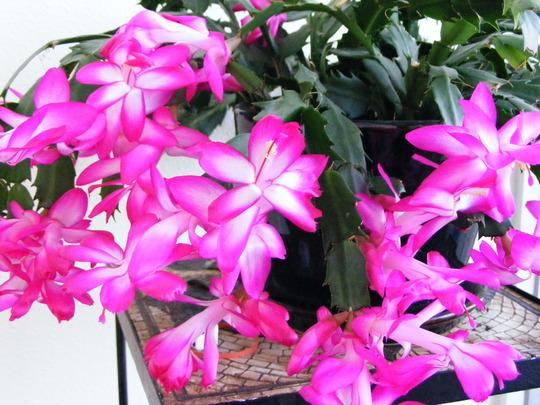 Christmas Cactus (Schlumbergera truncata)