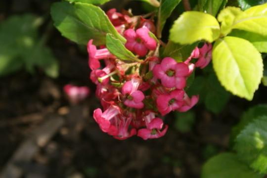 For Morgana (Escallonia laevis)