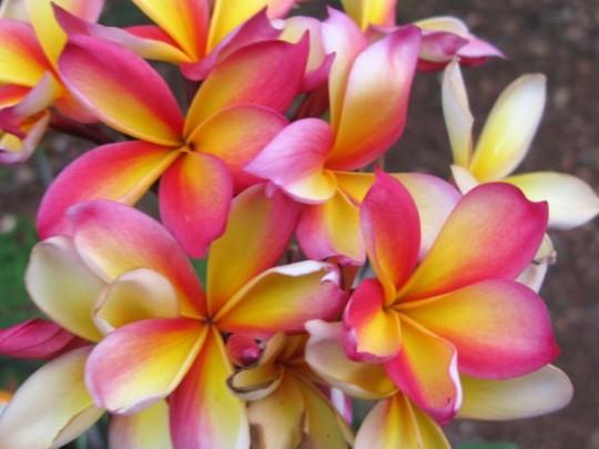 Frangipani Blooms on Cooktown Sunset (frangipani)